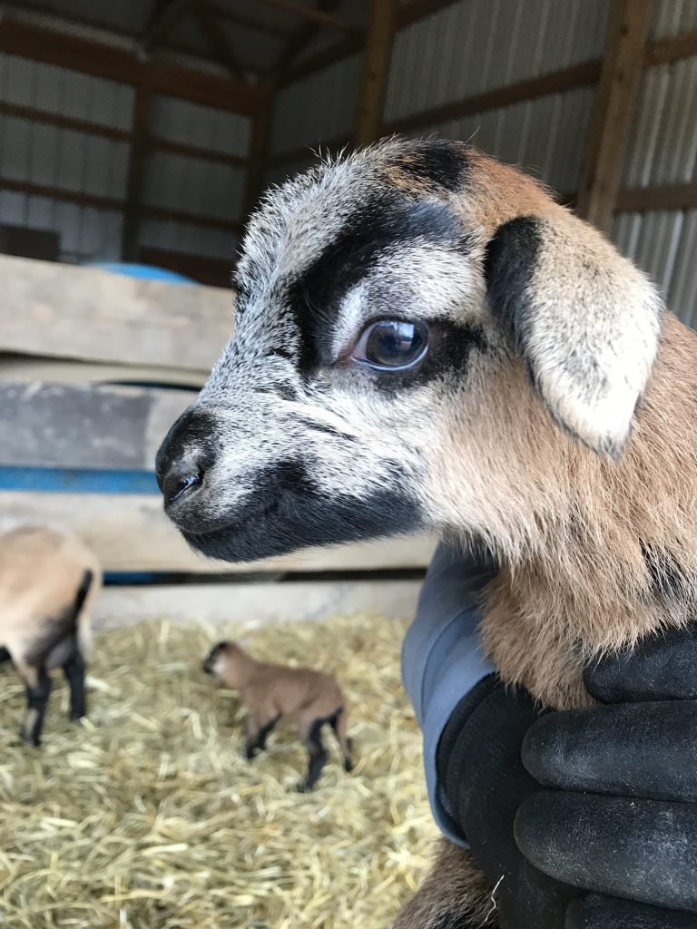 Blackbelly Lamb at Ritter Farm