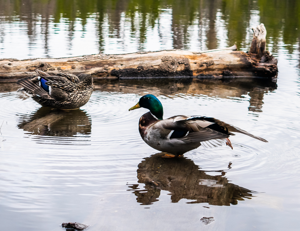 Ducks On Rocky Mountain Pond
