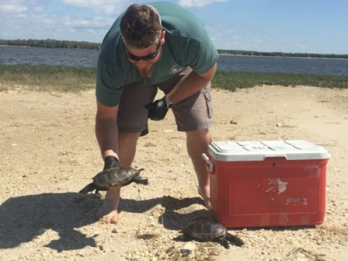 New York State DEC wildlife technician Nick Mancuso collects bodies of dead turtles to send back for necropsies. Photo: Peter Blasl