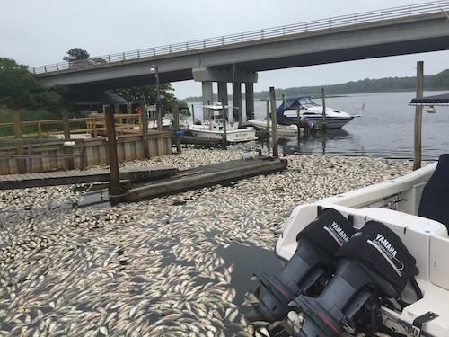 Dead bunker float near the Riverhead Yacht Club this morning. Photo: Peter Blasl