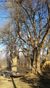 Joplin Osage Orange Tree
