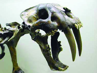 Sabertooth cat (smilodon)