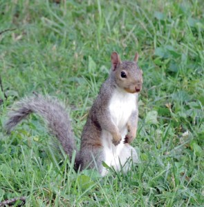 As if the squirrel plague wasn't strange enough, something else was about to happen. The gray squirrels, which had been in the majority, began to be seen less often and the fox squirrels descended on the farm communities. (Photo by James Tate/Traveler)