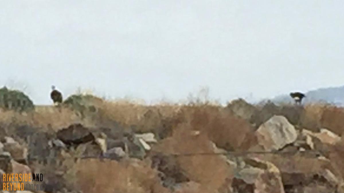 Bald Eagles at Lake Mathews