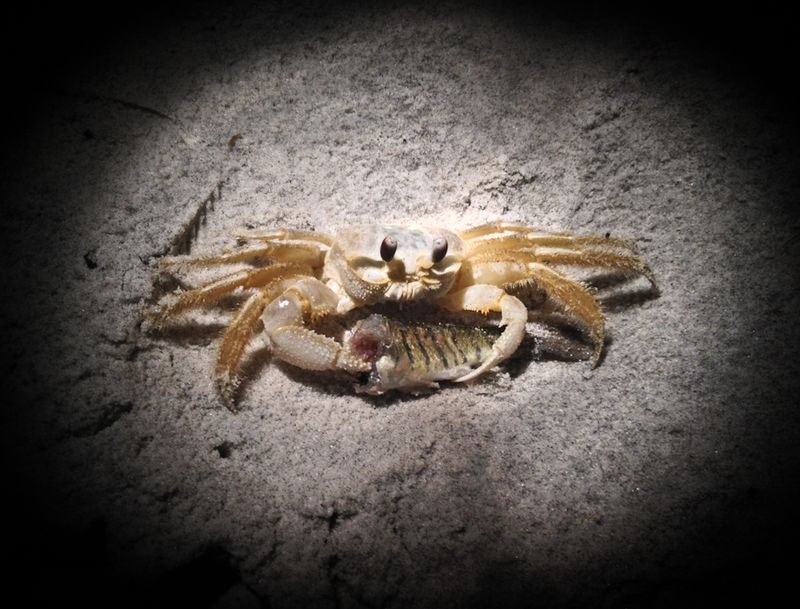 Crab_with_headless_fish-1