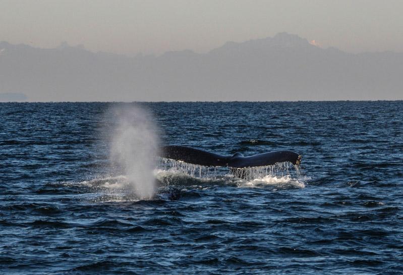 Humpbacks-5978