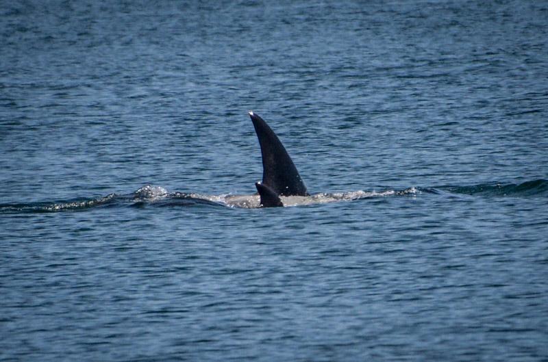 PT_Stuart_orcas-1245
