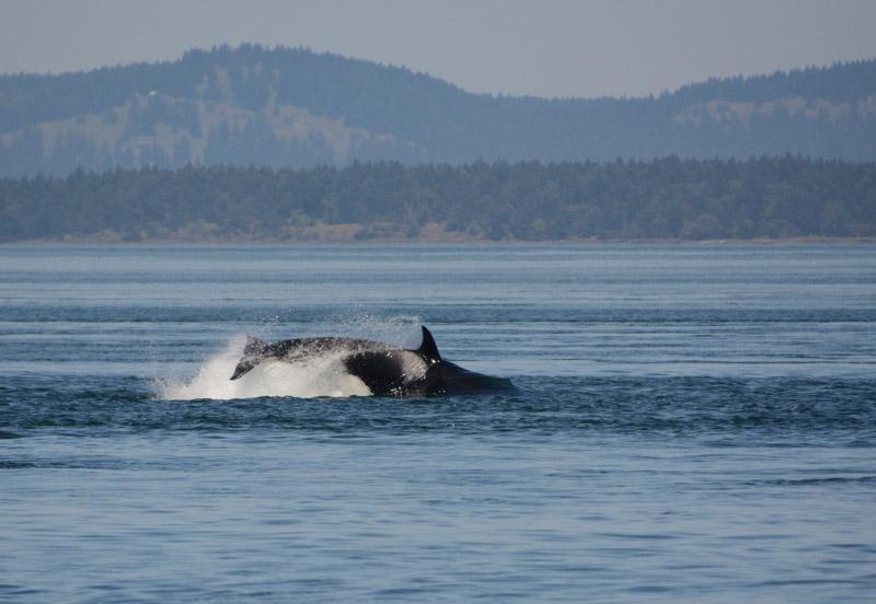 Orcas-0860