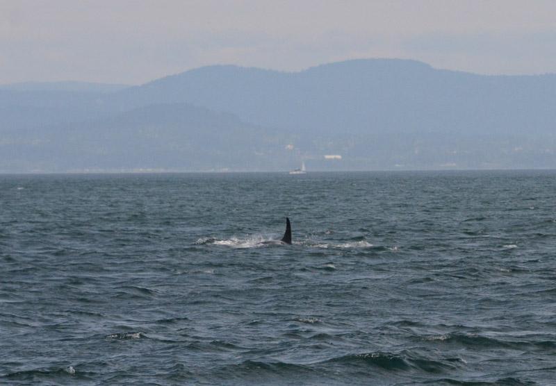 Orcas-1594