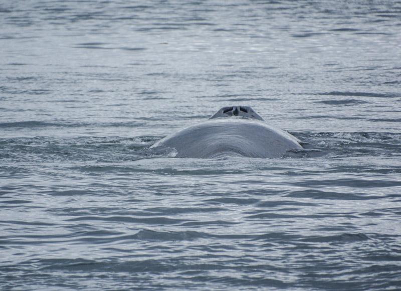 Humpbacks-5899