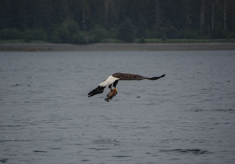 Eagle_fishing-6745