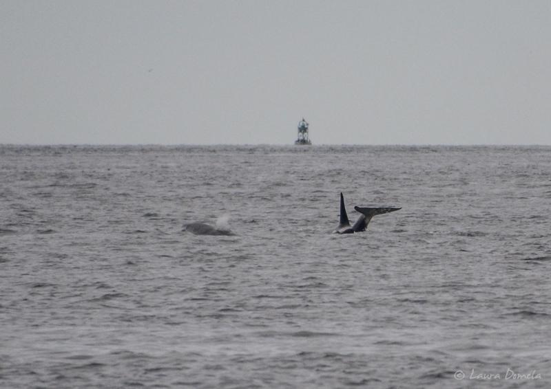 Orcas-0432