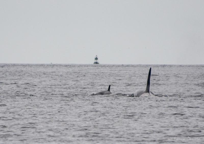 Orcas-0440