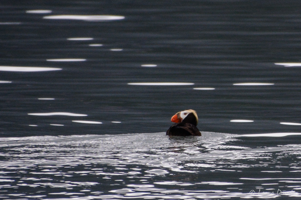 GBNP_puffins-3865