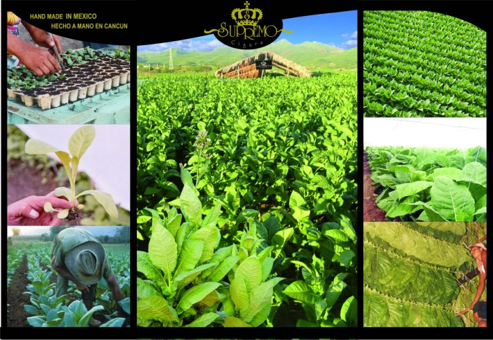 plantation tobacco