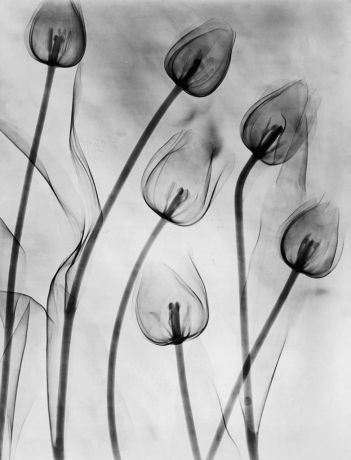 X-Ray Tulips On White