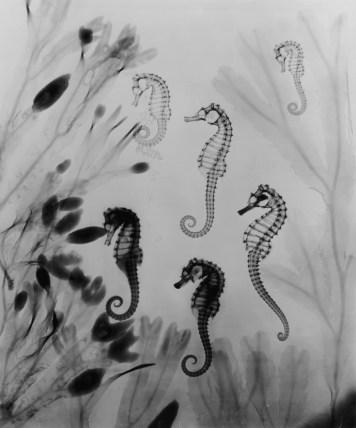 X-Ray Seahorses