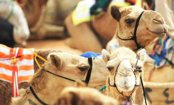 Three people were killed and several injured when their cars hit a herd of camels near Abqaiq. (Reuters)