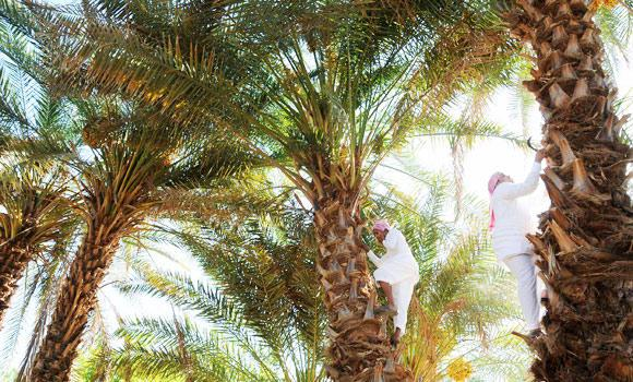 Farmers collect dates as the palm dates harvest season begins in Disa, around 200 km from the Saudi city of Tabuk, in this August 12, 2013 file photo.