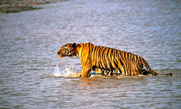 In this April 26, 2014 photo, a Royal Bengal tiger prowls in Sunderbans, at the Sunderban delta, about 130 kilometers south of Calcutta, India.