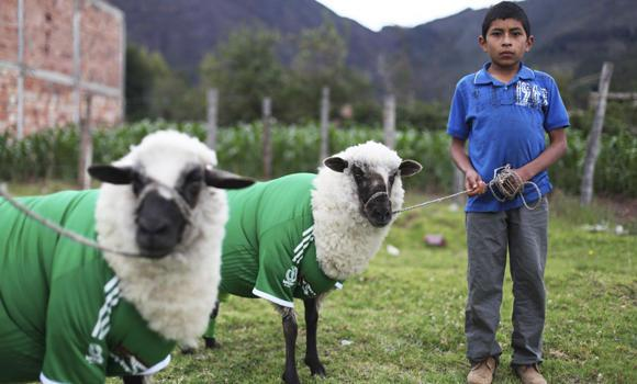 A shepherd boy stands next to sheep dressed in the jerseys of Mexico's national soccer team during the celebration of the International Poncho Day in Nobsa in Colombia onJune 1, 2014. Local craftsmen in this town in central Colombia make sheep wool ponchos using ancestral techniques.