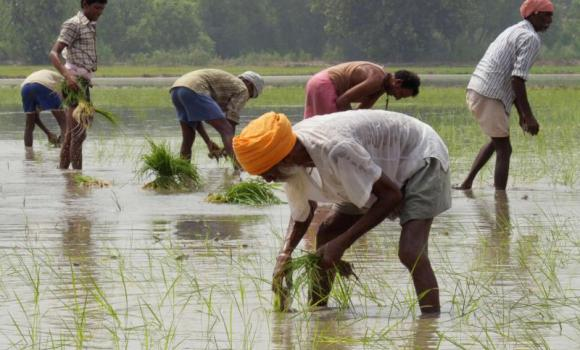 Workers plant rice paddy cuttings in a field on the outskirts of Amritsar.