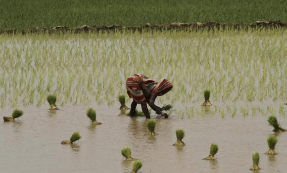 A woman plants rice saplings at a paddy field after monsoon rains on the outskirts of Puri, Orissa, India.