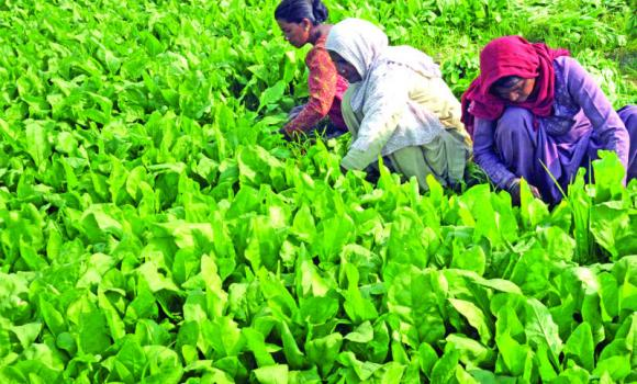 Workers harvest spinach in a field on the outskirts of Amritsar.
