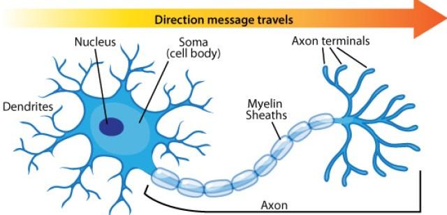 neuron anatomy azheimer beta amyloid