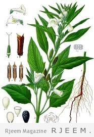 نبات السمسم