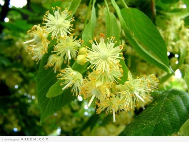 الزيزفون - فوائد نبات الزيزفون الطبيبة