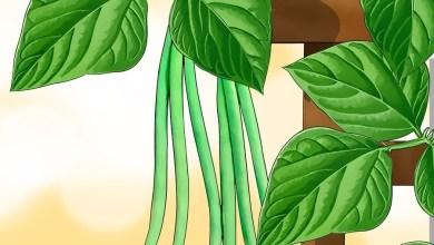 Photo of زراعة الفاصوليا