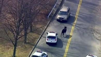 Photo of شرطة نيويورك تستنفر بطائرات هليكوبتر.. شاهد كيف تحوَّل الثور الهائج إلى حديث للشبكات الاجتماعية