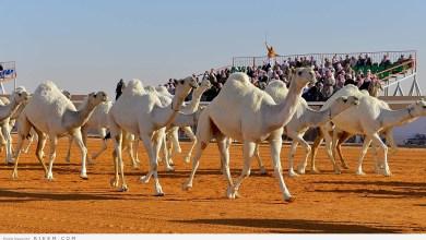 Photo of بالصور.. سعودية تستغل موهبتها في نحت حضارة الإبل على الجلود