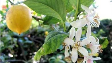 Photo of ماهي فوائد زهر الليمون ؟