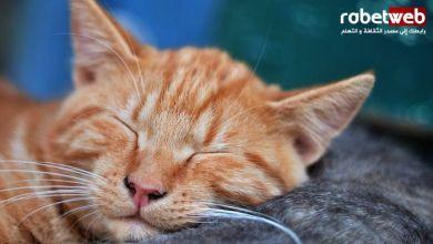 Photo of نصائح مهمة لتربية القطط في المنزل