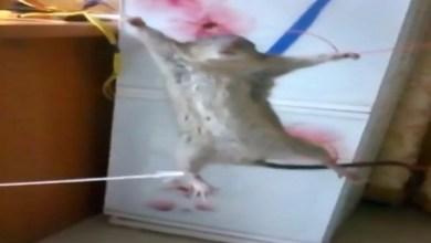 Photo of بالفيديو: شاهد كيف انتقم هذا الرجل من جرذ ضبطه في مطبخه
