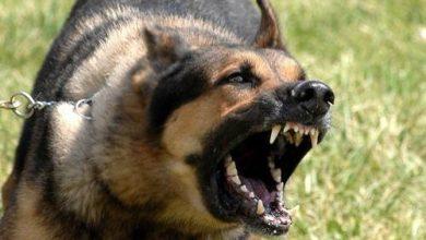 Photo of كلب البيتبول , معلومات عن كلب البيتبول الأصلى , صور كلب البيتبول الضخم
