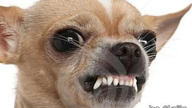 Photo of كلب الشيواوا , معلومات عن كلب الشيواوا المكسيكى , صور كلب الشيواوا الاصلى