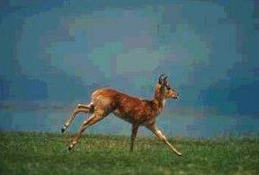 Photo of حيوان وعل القصب Reed Buck , صور و معلومات عن وعل القصب