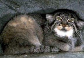 Photo of قط بالاس Pallas Cat , صور و معلومات عن قط بالاس