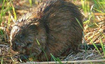Photo of فأر المسك Musk Rat , صور و معلومات عن فار المسك
