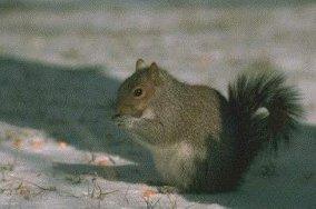 Photo of السنجاب الرمادي الشرقي Eastern Gray Squirrel , صور و معلومات عن السنجاب الرمادى الشرقى