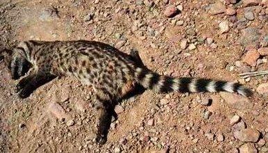 Photo of زبادي النخيل العادي Common Palm Civet Cat , صور و معلومات عن زبادى النخيل
