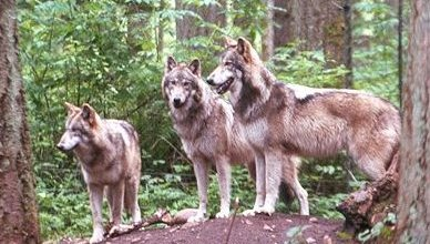 Photo of الذئب الرمادي Gray Wolf , صور و معلومات عن الذئب الرمادى