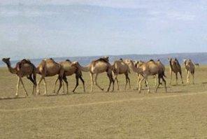 Photo of الجمل العربي Arabian Camel , صور و معلومات عن الجمل العربى