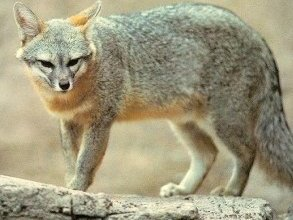 Photo of الثعلب الصغير Kit Fox , صور و معلومات عن الثعلب الصحراوى