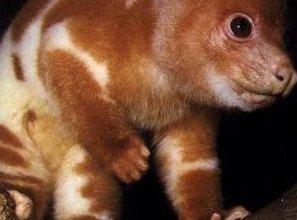Photo of الأبسوم المبقع Spotted Cuscus , صور و معلومات عن الابسوم المبقع