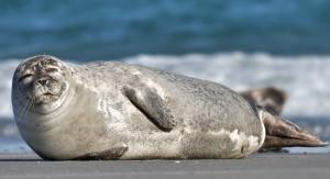 Photo of عجل الميناء Harbor Seal , صور و معلومات عن عجل الميناء