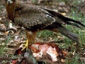 Photo of الحدأة السوداء Black-kite , صور و معلومات عن الحدأه السوداء